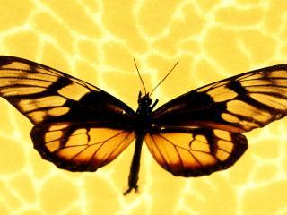 обои Золотые крылья фото