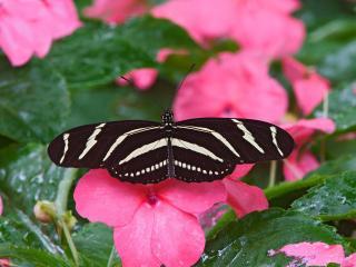 обои Бабочка-зебра фото