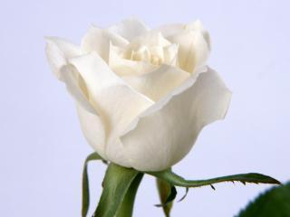 обои Белая роза фото