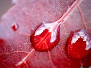обои Капельки на красном листе фото