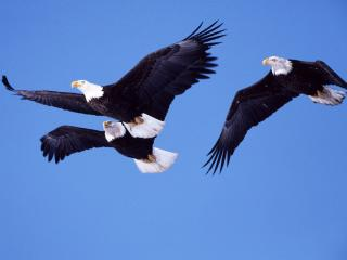 обои Bald Eagles in Flight фото