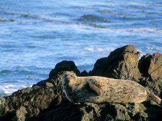 обои Harbor Seal фото