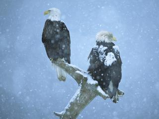 обои Bald Eagles in Falling Snow, Kenai Peninsula, Alaska фото