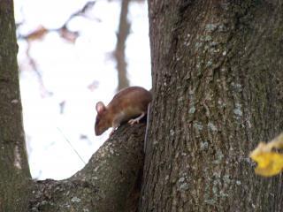 обои Маленькая мышка высоко на дереве фото