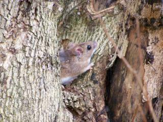 обои Мышка-полевка на дереве фото