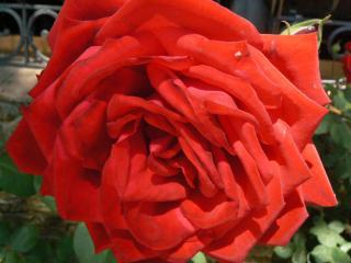 обои Большая красная роза фото