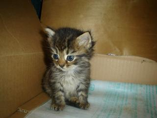 обои Пушистый голубоглазый котёнок фото