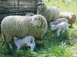 обои Овцы у околицы фото