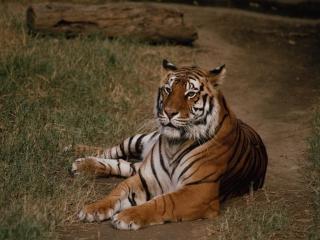 обои Тигр на дороге фото