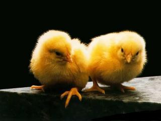 обои Цыплята желторотики фото