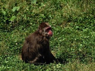 обои Красноносая обезьянка фото