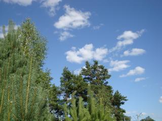 обои Сосновый лес фото