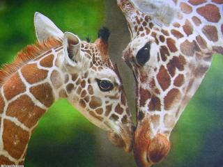 обои Жираф с детенышем фото