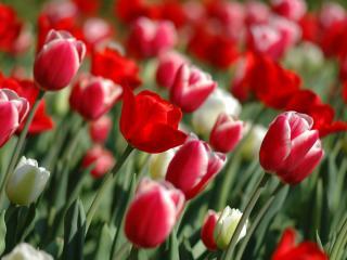 обои для рабочего стола: Красные и белые тюльпаны