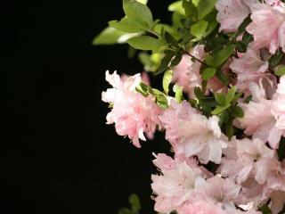 обои Розовое очарование фото
