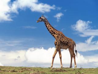 обои Жираф на фоне голубого неба фото