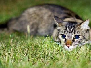 обои Серая кошка фото