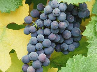 обои Виноград фото