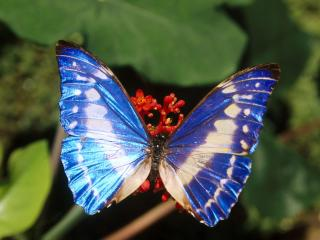 обои Morpho Brilliant фото