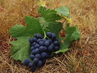 обои Гроздь винограда фото