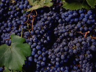 обои Гроздья винограда фото