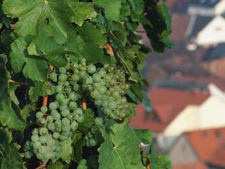 обои Гроздья зеленого винограда фото