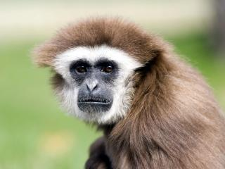 обои Чумовая обезьянка фото