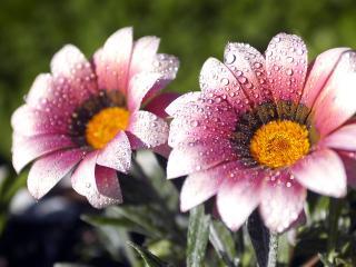 обои Два цветочка фото