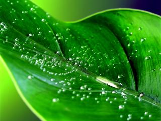 обои Зелёный лист фото