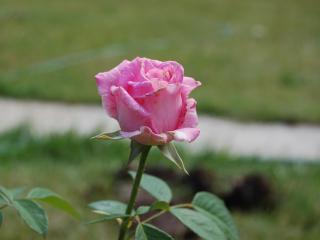 обои Роза розовая фото