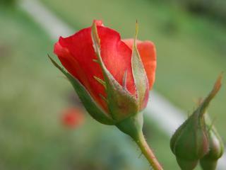 обои Красная роза и бутон фото