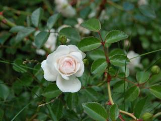 обои Белая кустовая роза фото