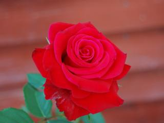 обои Ярко красная роза фото