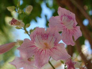 обои Цветы с острова Крит фото