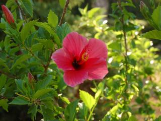 обои Цветок нежно-красного цвета фото