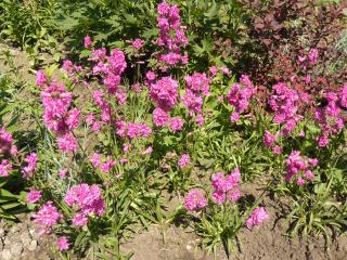 обои Розовые цветы фото