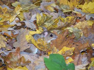 обои Полевая мышка в осенних листьях фото