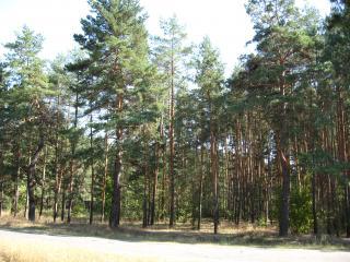 обои для рабочего стола: Сосновый лес в начале сентября