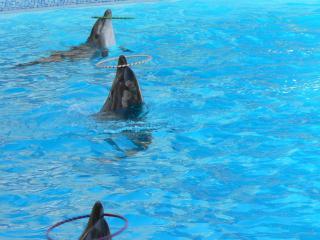 обои для рабочего стола: Три дельфина с кольцами