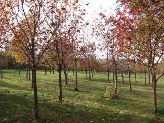 обои Деревца рябины фото