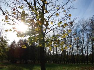 обои Клён в лучах солнца фото