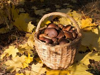 обои Лукошко с грибами фото