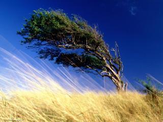 обои Дерево на ветру фото