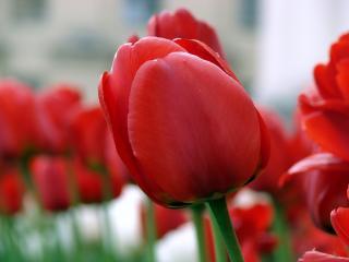 обои для рабочего стола: Тюльпаны из Минска