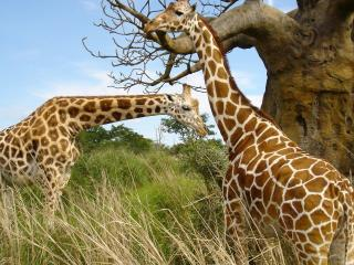 обои Пара жирафов фото