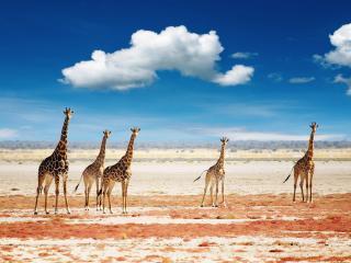 обои Стадо жирафов в саванне фото