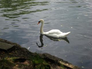 обои для рабочего стола: Лебедь на пруду