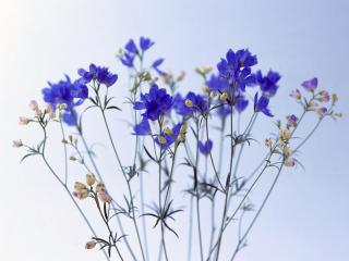 обои Синие цветочки фото