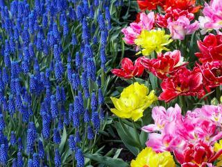 обои Синие цветы на клумбе фото
