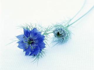 обои Синяя нигелла фото